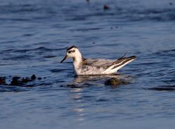 Grey Phalarope photographed at Fort Le Crocq [FLC] on 13/11/2011. Photo: © Vic Froome