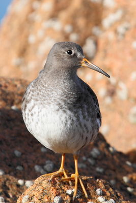 Purple Sandpiper photographed at Fort Hommet [HOM] on 8/3/2012. Photo: © Adrian Gidney