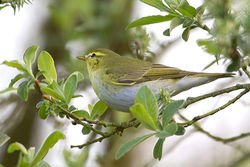 Wood Warbler photographed at Marais Nord/ Vale Marais on 11/4/2011. Photo: © Chris Bale