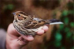 Little Bunting photographed at Trinity [TRI] on 13/10/1998. Photo: © Jamie Hooper