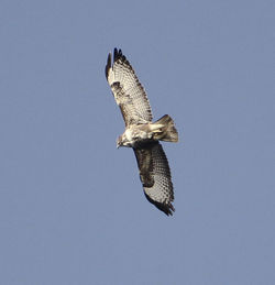 Buzzard photographed at Claire Mare [CLA] on 16/4/2012. Photo: © Robert Martin