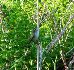 Greenish Warbler photographed at Pezeries [PEZ] on 26/5/2012. Photo: © Mark Guppy