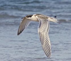 Sandwich Tern photographed at Cobo on 4/8/2012. Photo: © Barry Wells
