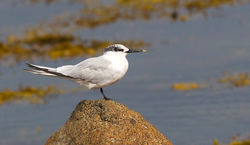 Sandwich Tern photographed at Grandes Havres [GHA] on 27/8/2012. Photo: © Anthony Loaring