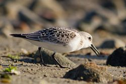 Sanderling photographed at Pequeries Bay [PEQ] on 28/8/2012. Photo: © Rod Ferbrache