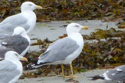 Yellow-legged Gull photographed at L'Eree [LER] on 1/9/2012. Photo: © Mark Guppy