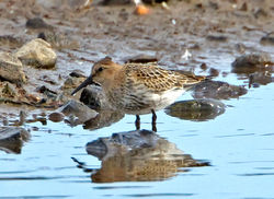 Dunlin photographed at Claire Mare [CLA] on 10/9/2012. Photo: © Mike Cunningham