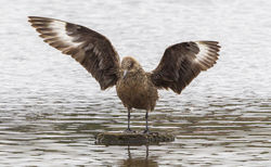 Great Skua photographed at Claire Mare [CLA] on 21/9/2012. Photo: © Anthony Loaring