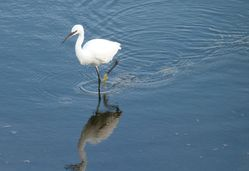 Little Egret photographed at Vale Pond [VAL] on 25/9/2012. Photo: © Tracey Henry