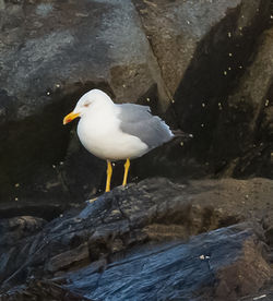 Yellow-legged Gull photographed at Fort Le Crocq [FLC] on 12/10/2012. Photo: © Anthony Loaring