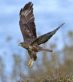 Buzzard photographed at Pleinmont [PLE] on 13/10/2012. Photo: © Mike Cunningham