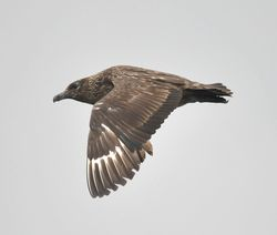 Great Skua photographed at Pelagic [PEL] on 16/9/2012. Photo: © Karen Jehan