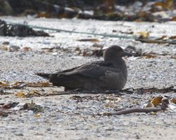 Great Skua photographed at Les Amarreurs [AMM] on 26/11/2012. Photo: © Cindy  Carre