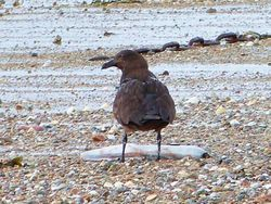 Great Skua photographed at Les Amarreurs [AMM] on 26/11/2012. Photo: © Tracey Henry