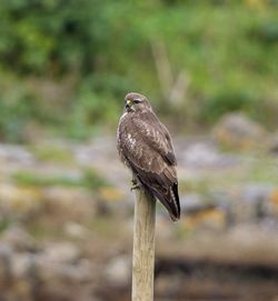 Buzzard photographed at Colin Best NR [CNR] on 2/12/2012. Photo: © Royston Carr�