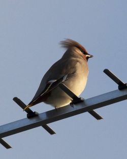 Waxwing photographed at Upper St. Jacques [UPJ] on 10/12/2012. Photo: © Cindy  Carre
