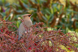 Waxwing photographed at Upper St. Jacques [UPJ] on 11/12/2012. Photo: © Rod Ferbrache