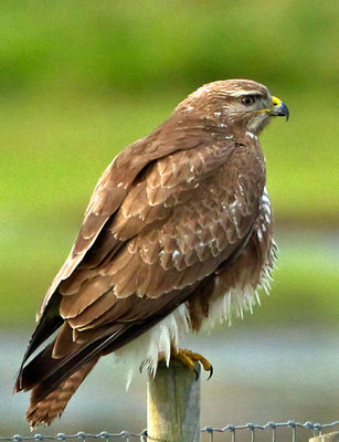 Buzzard photographed at Colin Best NR [CNR] on 21/12/2012. Photo: © Mike Cunningham
