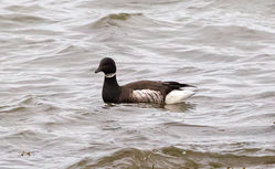 Brent Goose photographed at Perelle on 23/12/2012. Photo: © Anthony Loaring
