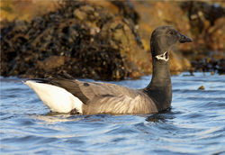 Brent Goose photographed at Belle Greve Bay [BEL] on 27/12/2012. Photo: © Nick Dean