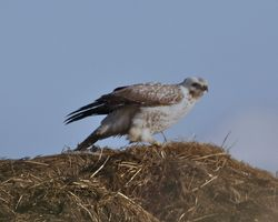 Buzzard photographed at Rue des Hougues, STA [H04] on 23/1/2013. Photo: © Cindy  Carre