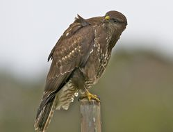 Buzzard photographed at Undisclosed Location on 24/1/2013. Photo: © Royston Carr�