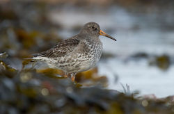 Purple Sandpiper photographed at Grandes Rocques [GRO] on 25/1/2013. Photo: © Adrian Gidney