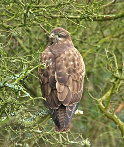 Buzzard photographed at Pleinmont [PLE] on 13/2/2013. Photo: © Mike Cunningham