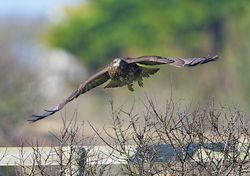 Buzzard photographed at Creux Mahie, TOR [CRX] on 18/2/2013. Photo: © Royston Carr�