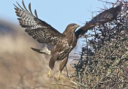 Buzzard photographed at Creux Mahie, TOR [CRX] on 19/2/2013. Photo: © Royston Carr�