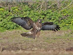 Buzzard photographed at Creux Mahie, TOR [CRX] on 28/3/2013. Photo: © Royston Carr�
