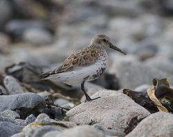 Dunlin photographed at Pulias [PUL] on 3/4/2013. Photo: © Royston Carr�
