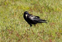 Rook photographed at Pleinmont [PLE] on 20/4/2013. Photo: © Anthony Loaring