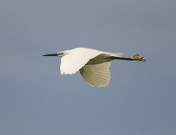 Little Egret photographed at Pulias [PUL] on 15/5/2013. Photo: © Karen Jehan