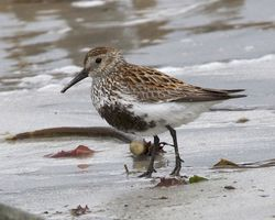 Dunlin photographed at Jaonneuse [JAO] on 24/5/2013. Photo: © Cindy  Carre