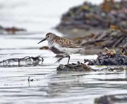 Dunlin photographed at L'Eree [LER] on 28/5/2013. Photo: © Mike Cunningham