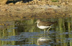 Green Sandpiper photographed at Claire Mare [CLA] on 23/7/2013. Photo: © Anthony Loaring