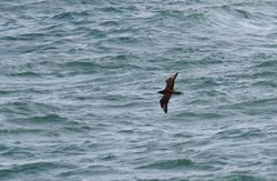 Great Skua photographed at Jaonneuse [JAO] on 18/9/2013. Photo: © Vic Froome