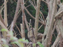 Wryneck photographed at Sark [SAK] on 23/9/2013. Photo: © Steve and Hilary Wild