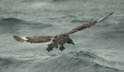 Great Skua photographed at Pelagic [PEL] on 28/9/2013. Photo: © Karen Jehan