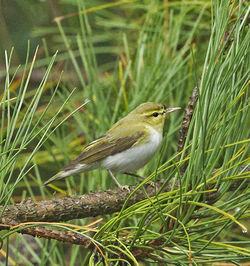 Wood Warbler photographed at Icart [ICA] on 28/9/2013. Photo: © Anthony Loaring