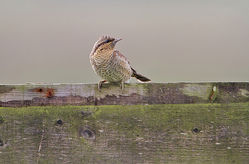 Wryneck photographed at Les Bordes, [Claire Mare] on 29/9/2013. Photo: © Chris Bale