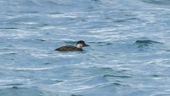 Common Scoter photographed at Grandes Rocques [GRO] on 30/11/2013. Photo: © Anthony Loaring