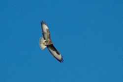 Buzzard photographed at Mt. Herault [MHE] on 14/1/2014. Photo: © Jay Friend