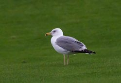 Yellow-legged Gull photographed at Pembroke [PEM] on 28/1/2014. Photo: © Vic Froome