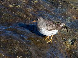 Purple Sandpiper photographed at Fort Doyle [DOY] on 4/2/2014. Photo: © Vic Froome