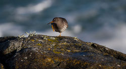 Purple Sandpiper photographed at Fort Doyle [DOY] on 4/2/2014. Photo: © Dan Scott