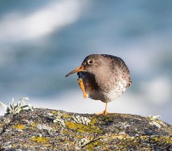 Purple Sandpiper. Photo: © Dan Scott
