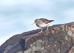 Purple Sandpiper photographed at Fort Doyle [DOY] on 18/2/2014. Photo: © Mike Cunningham