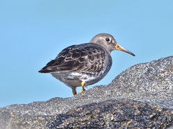 Purple Sandpiper photographed at Fort Doyle [DOY] on 22/2/2014. Photo: © Mike Cunningham